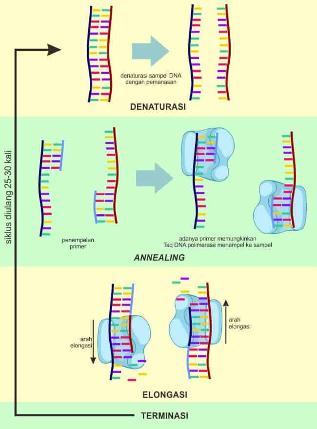 Rangkuman satu siklus PCR
