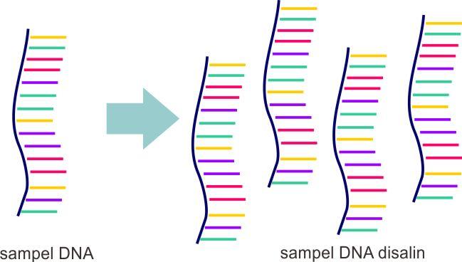 PCR pada dasarnya menyalin DNA yang dikehendaki melalui reaksi enzimatik