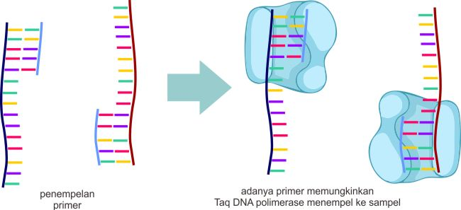 Tahapan annealing PCR