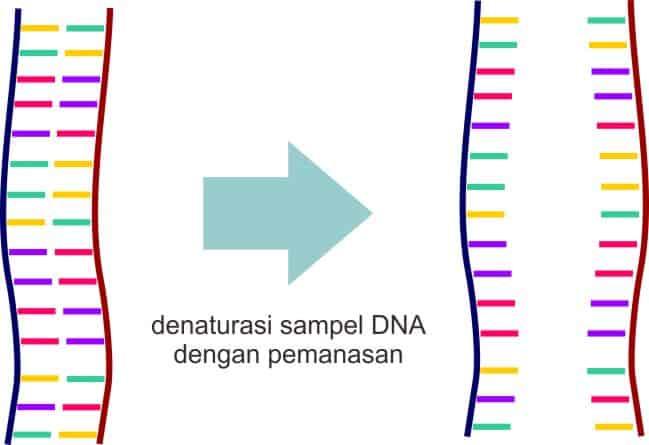 Tahap denaturasi dengan pemanasan pada proses PCR