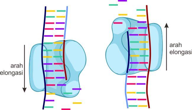 Tahap elongasi PCR