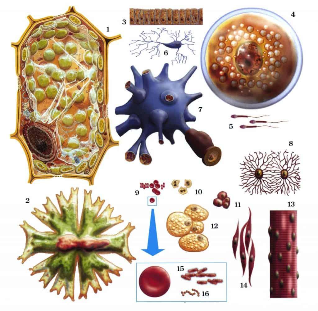 Perbandingan ukuran secara relatif berbagai jenis sel