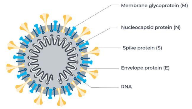 Struktur virus SARS-CoV-2
