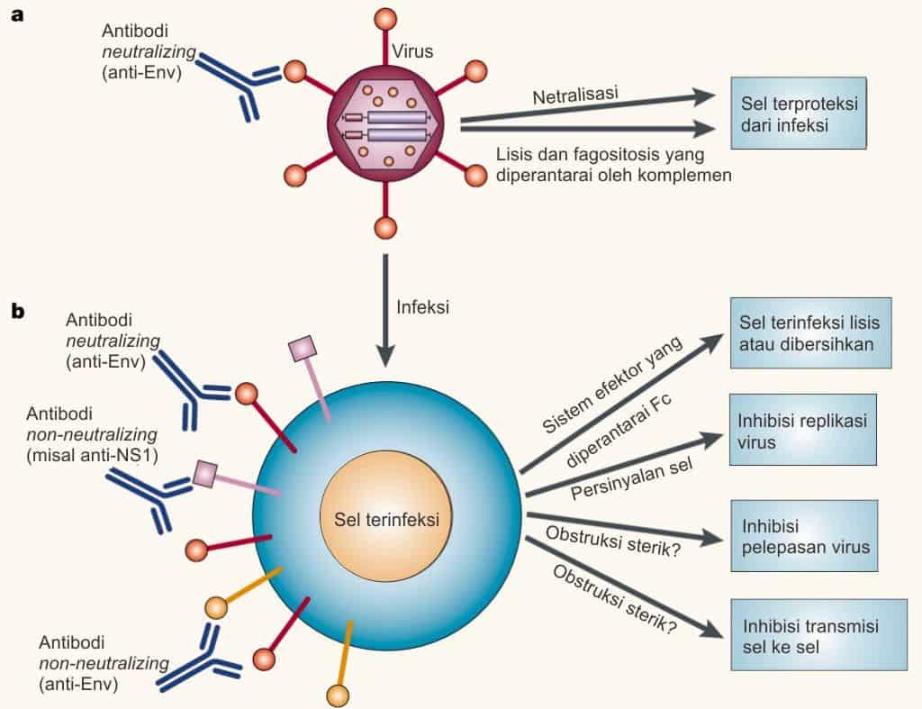 Aktivitas antiviral dari antibodi