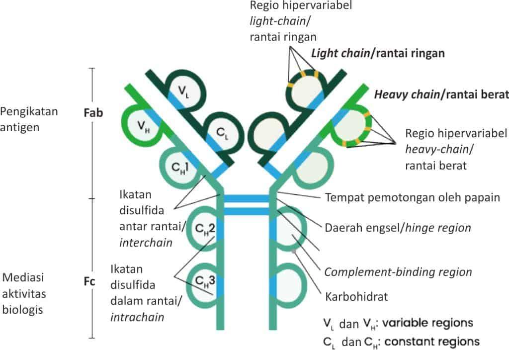 Bagan struktur antibodi