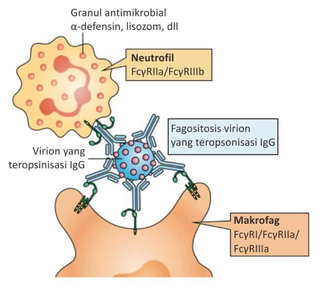 Fagositosis virion yang teropsonisasi IgG