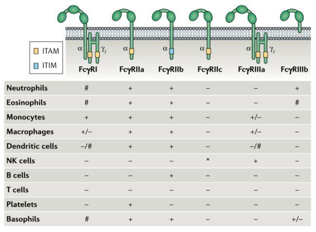 Keluarga FcγR dan pola ekspresinya di berbagai sel