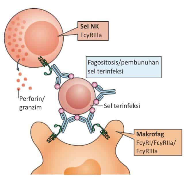 Pembunuhan sel yang terinfeksi virus