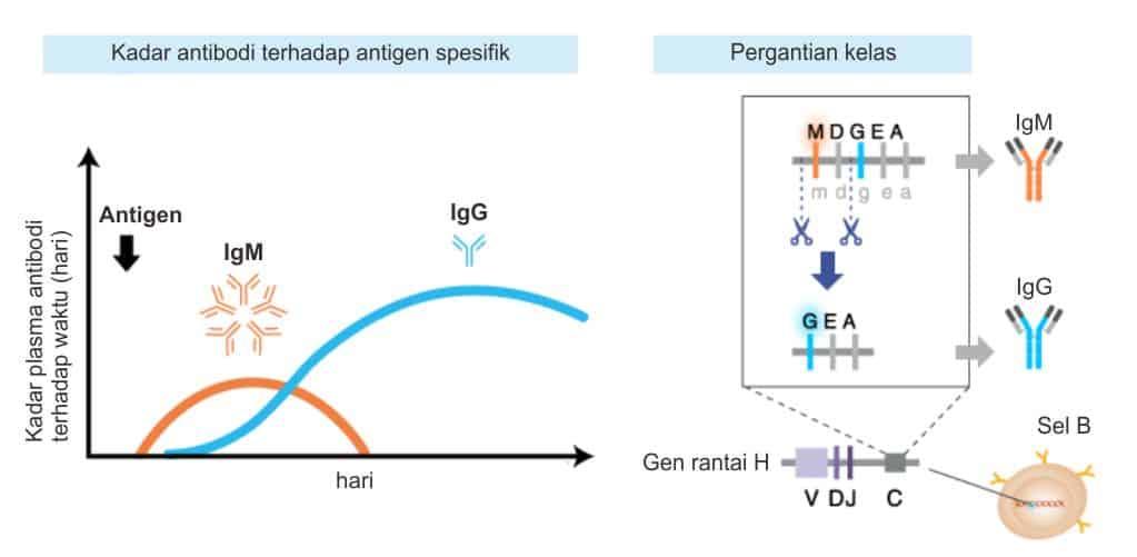 Pergantian kelas antibodi