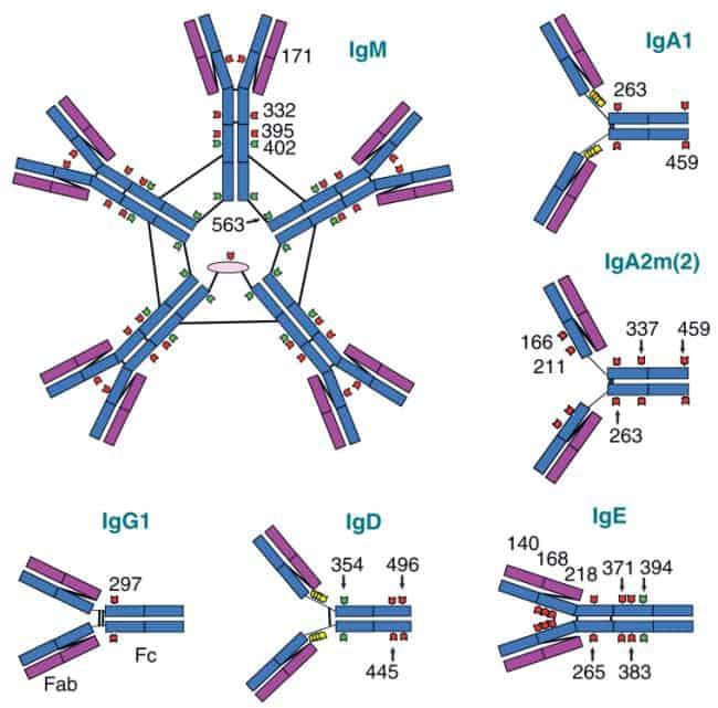Diagram representasi pola gikosilasi pada berbagai kelas antibodi