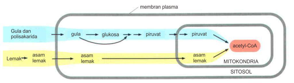 Jalur metabolisme produksi acetyl-CoA