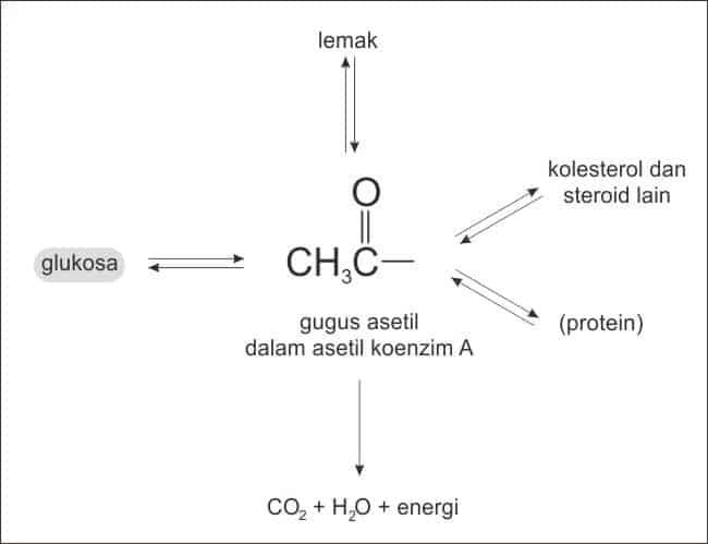 Penggunaan karbohidrat di dalam tubuh