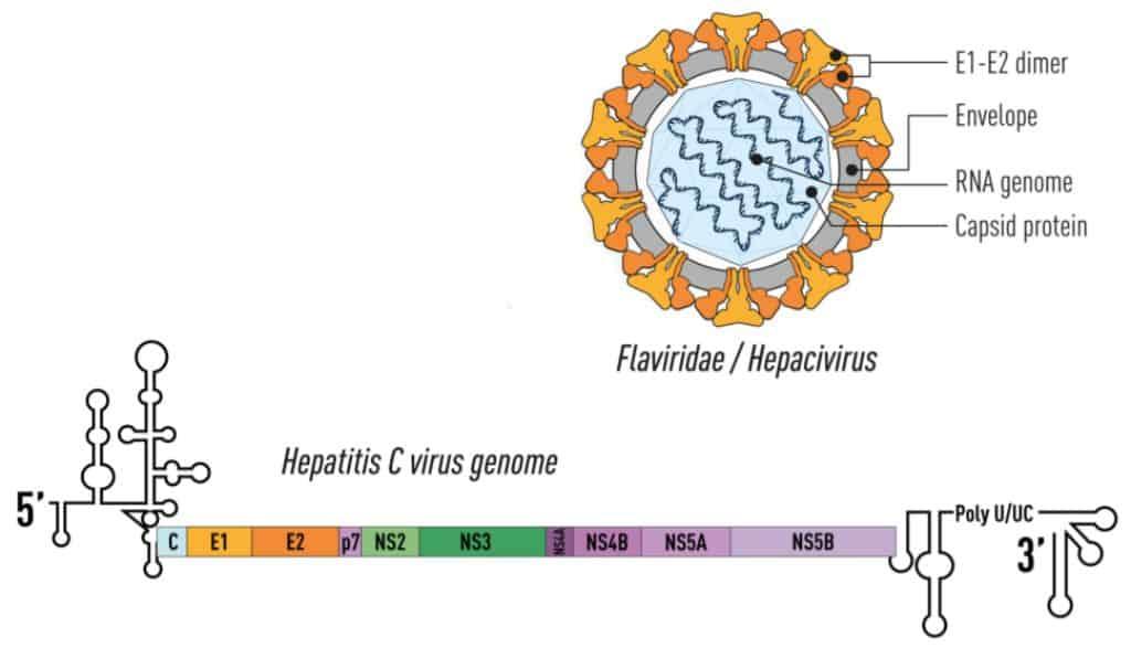 Struktur dan genom dari virus hepatitis C (HCV)